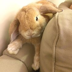 Man Finds Lost Bunny in Couch Cushions