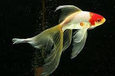 Comet Goldfish, Fantail Goldfish, Japanese Quilts, Japanese Art, Goldfish Types, Istanbul Pictures, Koi Painting, Golden Fish, Wrist Tattoos For Women