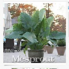 Heirloom Alocasia Macrorrhiza Green Giant Taro Indoor Plant 100 Seeds Free worldwide shipping within 4-8 weeks.