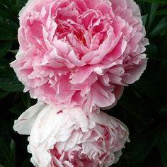 Pivoine herbacée Pivoine de Chine 'Sarah Bernhardt'