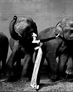 I love the contrast of the massive rough elephants against the elegant woman, made an impression on me way back in college  upon research . . .it is 1 of 3 Richard Avedon shot as adds for Christian Dior.
