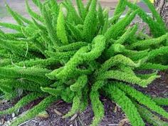 Foxtail fern - member of the asparagus fern family. Every garden needs unusual plants that are easy to grow and this fern is both. Asparagus Fern, Desert Plants, Tropical Plants, Outdoor Plants, Outdoor Gardens, Shade Garden, Garden Plants, Horticulture, Foxtail Fern