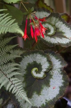 The striking spiral foliage of a seashell begonia (Begonia Rex 'Escargot'), a delicate painted fern and a splash of scarlet fuchsia grow together in a potted composition designed for shade.