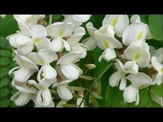 Florile de Salcam - Beneficiile pentru Sanatate - YouTube Youtube, Health, Diet, Plant, Health Care, Youtubers, Youtube Movies, Salud