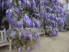 Wisteria, Botanic Garden. Leuven