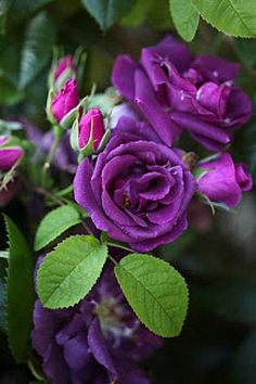 All purple flowers are beautiful and with meanings of their own. Beautiful purple flowers for your garden All Flowers, Amazing Flowers, Beautiful Roses, My Flower, Beautiful Gardens, Flower Power, Beautiful Flowers, Photo Rose, Rose Foto