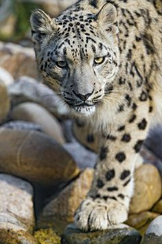 Snow leopard looking at me