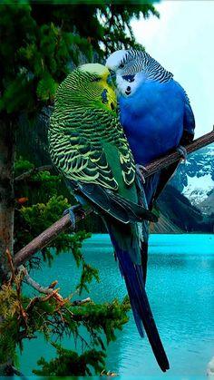 Parrots  Native Australian animals: https://hubpages.com/travel/australiantravels