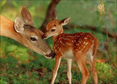 This fawn was about 6 days old when this photo was taken. It also had a twin.