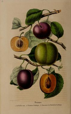 Belgique horticole. By Morren, Charles, 1807-1858 Morren, Edouard, 1833-1886 / Not in Copyright (aka public domain) - http://www.biodiversitylibrary.org/item/137336#page/126/mode/1up
