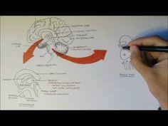 Brain Anatomy Overview - Lobes, Diencephalon, Brain Stem Limbic System - YouTube