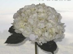 Hydrangea-white- because of it's volume, it's a good bang for the buck. Always pretty in a wedding. Can be tinted for less expensive alternative to true colored hydrangea.