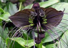 bat flower