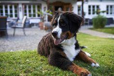 Hotel Waldrand Lenk im Berner Oberland Freundlich, Hotels, Camping, Dogs, Cute, Animals, Random, Bernese Mountain Dogs, Cottage House