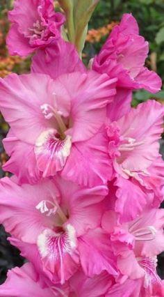 Gladiolus 'Sacia Lynn'