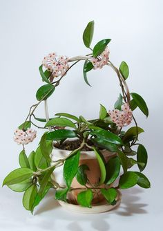 Hoya (Hoya carnosa) is appropriately nicknamed wax plant because of the plant's thick, waxy, dark green leaves. With proper care and adequate sunlight, hoya will quickly wrap...