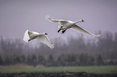 Tundra Swans in Flight By LeeeAnn McLaneGoetz McLaneGoetzStudioLLC.com The long migration has these Tundra Swans making a stop in the flooded fields of Imlay City Michigan #swan,#tundra,#flight,#nikon