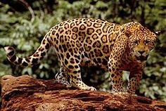 The jaguar Panthera onca, is a big cat, a feline in the Panthera genus, and is the only Panthera species found in the Americas. The jagu. Wtf Fun Facts, True Facts, Funny Facts, Random Facts, Cat Facts, The More You Know, Did You Know, Animal Jaguar, Jaguar Leopard