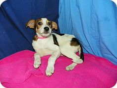 Waldorf, MD - Collie/Hound (Unknown Type) Mix. Meet Regan, a puppy for adoption. http://www.adoptapet.com/pet/10954378-waldorf-maryland-collie-mix