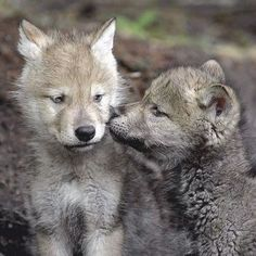 Two wolf pups play and one gives the other a peck on the cheek. Wolf Spirit, Spirit Animal, Beautiful Wolves, Animals Beautiful, Wolf Pictures, Animal Pictures, Tier Wolf, Wolf Pup, Wolf Love