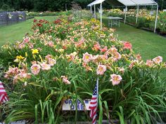 We grow over 500 varieties of newer hybrid Daylilies .We sell on line and at…