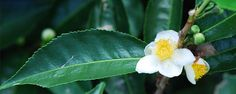 The Herb Gardener: Growing Tea Plant Planting Shrubs, Landscaping Plants, Planting Seeds, Unique Plants, Exotic Plants, Cool Plants, Permaculture, Green Tea Plant, Growing Tea