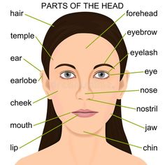 Foto over Gedetailleerde illustratie van de delen van het menselijke hoofd voor onderwijs grafisch element. Illustratie bestaande uit hoofd, menselijk, gezicht - 21767118