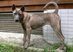 Taiwan Dog | Origin: Taiwan