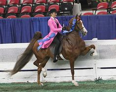 CH The Attache Orchid sadly passed away this morning right after winning the 3 Gaited Pony class at the American Royal Horse Show with rider and owner Hunter Chancellor. The pony had another incredible class and was worthy of her win. Unfortunately, on her way out of the ring the little horse hit the in gate with her chest and went down while Hunter was still on her back. The mare had to be put down moments later due to a ruptured aorta. Please send your thoughts to the Chancellor family.