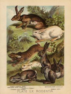 #vintage #bookplate #illustration #rabbit #hare