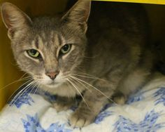 ADOPTED>Intake: 7/20 Available: 7/26 NAME: Mona  ANIMAL ID: 20596712 BREED: DSH  SEX: Spayed Female  EST. AGE: 3 yrs  Est Weight: 7.4 lbs  Health:  Temperament: Friendly  ADDITIONAL INFO:  RESCUE PULL FEE: FREE!!