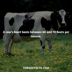 A cow's heart beats between 60 and 70 beats per minute. #cow #cows #animals #interesting #facts #fact #trivia #beautiful #pets #cute #amazing #1 #memes #animalfacts #cowfacts #petfacts Cow Facts, Tiger Facts, Bird Facts, Dolphin Facts, Whale Facts, Dinosaur Facts, Fun Facts About Animals, Animal Facts, Cow Appreciation Day