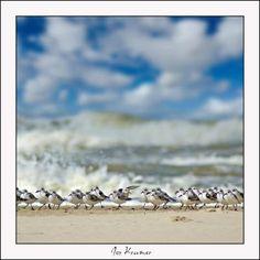 Drieteen strandlopertjes