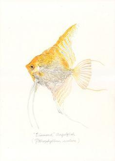 "Pterophyllum scalare / ""Diamond"" Angelfish (""ダイヤモンド・エンゼル"" Pterophyllum scalare: uonofu 魚の譜から) #fish #art #illustration #painting #drawing #fishart #fishillustration #fishpainting #fishdrawing #naturalart #naturalillustration #naturalpainting #naturaldrawing #watercolor #aquarium #fishing #uonofu #YuseiNaagashima"