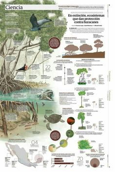 In extinction, ecosystems that provide protection against hurricanes Information Design, Information Graphics, Science Art, Science And Nature, Green Marketing, Ecology Design, Science Illustration, Amazing Drawings, Flyer