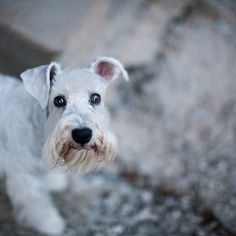 Bonnie by Igor Novakovic #Miniature #Schnauzer