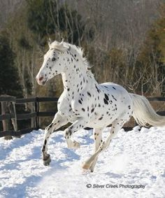 Appaloosa running wild and free in the snow.