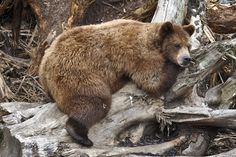 Bear may be better able to regulate their insulin levels.