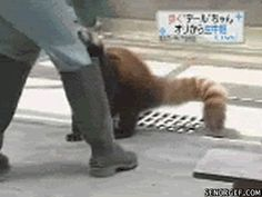Red panda battle mode: engage! (gif)