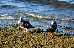 https://flic.kr/p/DRnXoJ   Chiloé006   Pareja de Patos en Sector Pasarela a la Isla Aucar o Isla de las Almas Navegantes, Quemchi, Chiloé, Los Lagos, Chile.