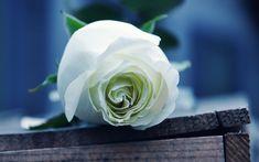 Beautiful White Rose Flower Macro Wallpaper Desktop Wallpaper