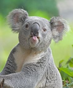 Adorable koala - cute little tongue! A koala has two thumbs and three fingers on each of their front paws. Cute Baby Animals, Animals And Pets, Funny Animals, Funny Koala, Wild Animals, Funny Animal Photos, Silly Animal Pictures, Animals Photos, Animal Pics
