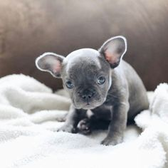 French Bulldog Puppy French Bulldog Puppy More - Pug Puppies French Bulldog Facts, French Bulldog Blue, French Bulldog Puppies, Teacup French Bulldogs, Cute Puppies, Dogs And Puppies, Adorable Dogs, Baby Animals, Cute Animals