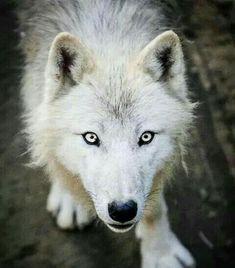 VERYYYY QUIET WOLF <3