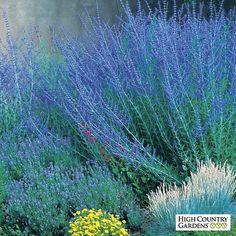 Perovskia atriplicifolia Blue Spires  Blue Spires Russian Sage  - Recommended as companion plant for Sedum Autumn Joy