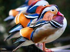 Mandarin Ducks Photo, Animals Wallpaper – National Geographic Photo of the Day