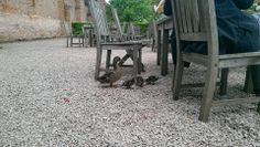 It's not just humans who enjoy tea-rooms, these ducklings enjoyed their wander around Hanbury Hall's outdoor tea-room facilities earlier this month. Facebook 8 May