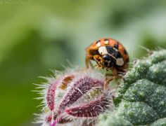 ladybugs, macro photography