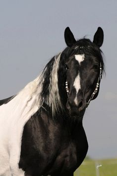 Friesian/Pinto stallion - from Goodshapes Barock Pintos
