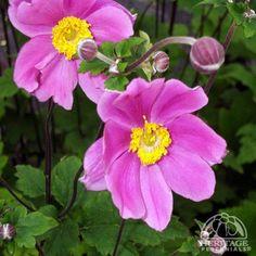 Anemone × hybrida 'Serenade'